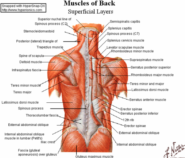 Back Muscles Diagram Exercise - Enthusiast Wiring Diagrams •